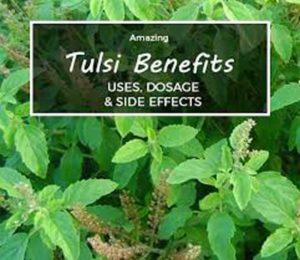 tulsi plant/tulsi-benefits-and-side-effects